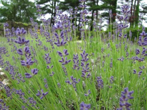 Fort Hill Farms Lavender Garden